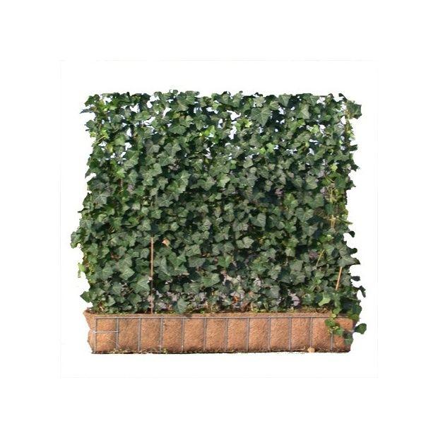 haie 39 pr t planter 39 mobilane de lierre 39 woerner 39 hauteur 1 m plantes et jardins. Black Bedroom Furniture Sets. Home Design Ideas