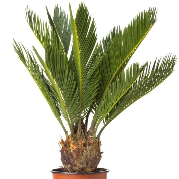 Cycas hauteur 55 cm plantes et jardins for Plante 70 cm