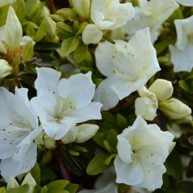 Azal e japonaise 39 eucharis 39 plantes et jardins for Plante verte japonaise