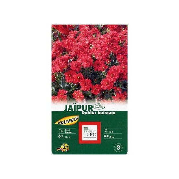 Dahlia buisson 39 jaipur 39 lot de 3 plantes et jardins for Buisson synthetique