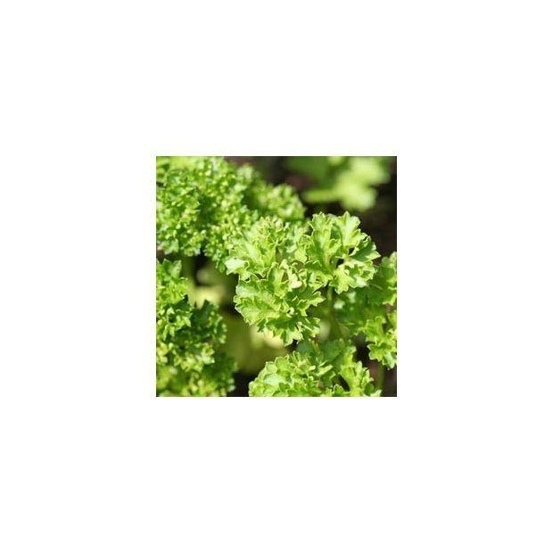 Persil fris bio plantes et jardins for Entretien persil jardin