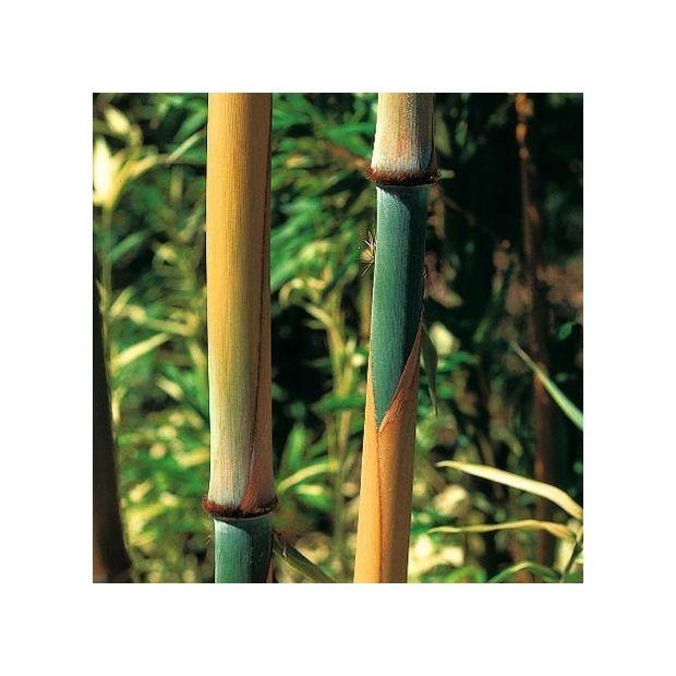 bambou moyen sinobambusa tootsik plantes et jardins. Black Bedroom Furniture Sets. Home Design Ideas