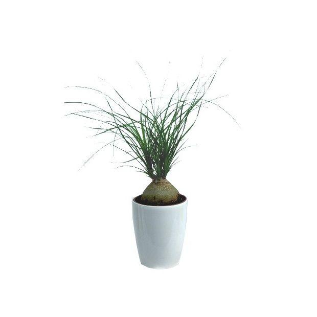 beaucarnea cache pot blanc plantes et jardins. Black Bedroom Furniture Sets. Home Design Ideas