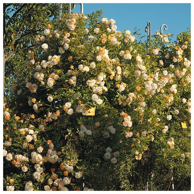 rosier ancien grimpant 39 ghislaine de f ligonde 39 rosier guillot plantes et jardins. Black Bedroom Furniture Sets. Home Design Ideas