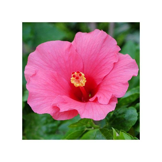 hibiscus rose plantes et jardins. Black Bedroom Furniture Sets. Home Design Ideas