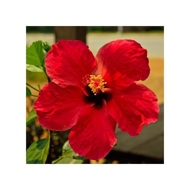 Hibiscus rouge plantes et jardins for Hibiscus exterieur rouge