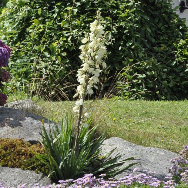 Yucca filamenteux plantes et jardins for Yucca elephantipes exterieur