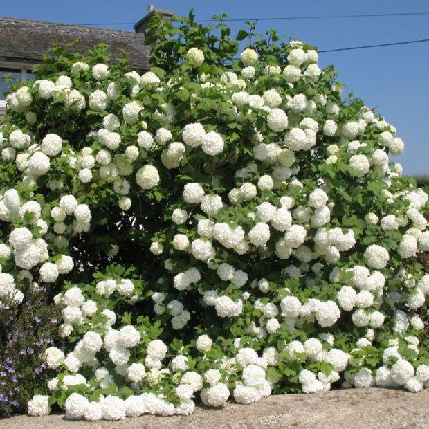 Viorne ou viburnum boule de neige 39 roseum 39 plantes et - Boule de neige plante ...