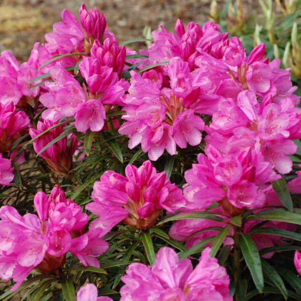 Rhododendron 'Graziella' - Plantes Et Jardins