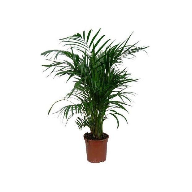 Areca 90 100 cm plantes et jardins for Grandes plantes vertes