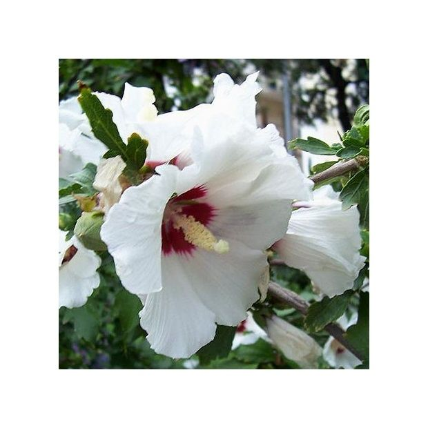 hibiscus syriacus 39 hamabo 39 plantes et jardins. Black Bedroom Furniture Sets. Home Design Ideas