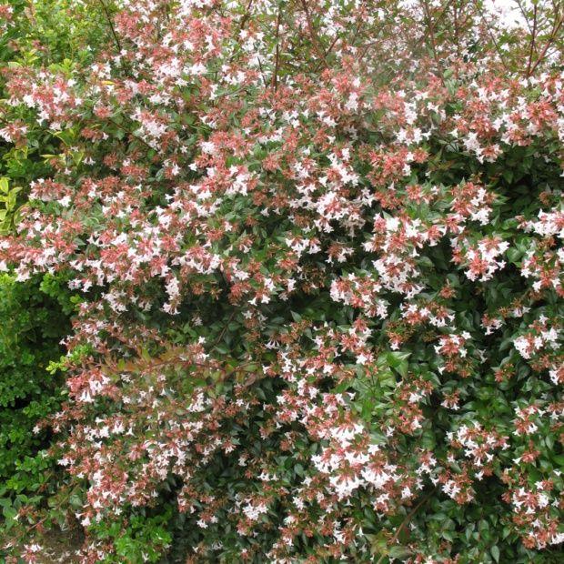 Ab lia grandes fleurs plantes et jardins for Fleurs plantes et jardins