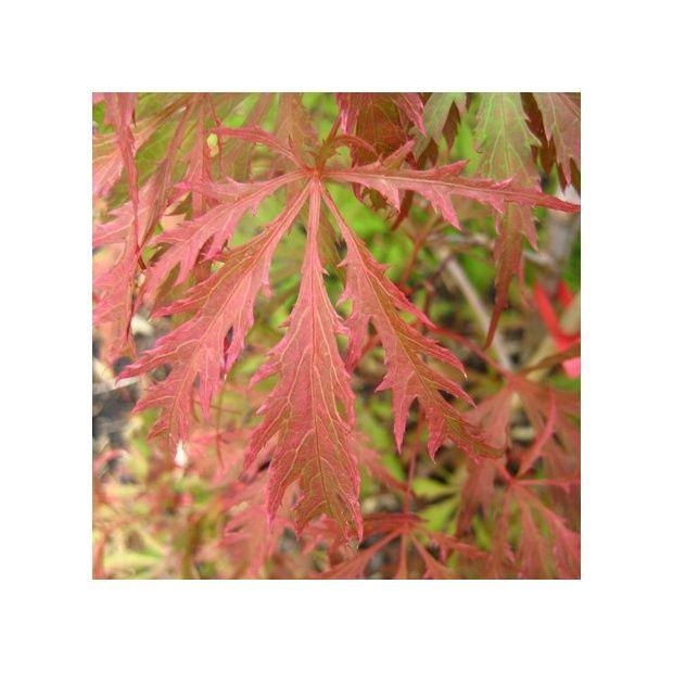 Erable du Japon Earth Fire  Plantes et Jardins