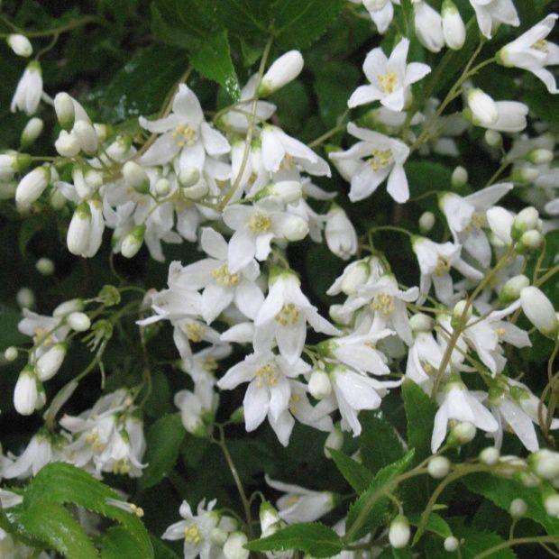 Deutzia 39 nikko 39 plantes et jardins - Plante pour haie ...