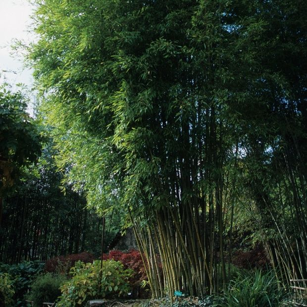 bambou g ant phyllostachys nigra 39 henonis 39 plantes et. Black Bedroom Furniture Sets. Home Design Ideas