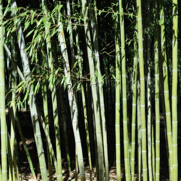 bambou g ant phyllostachys nigra 39 henonis 39 plantes et jardins. Black Bedroom Furniture Sets. Home Design Ideas