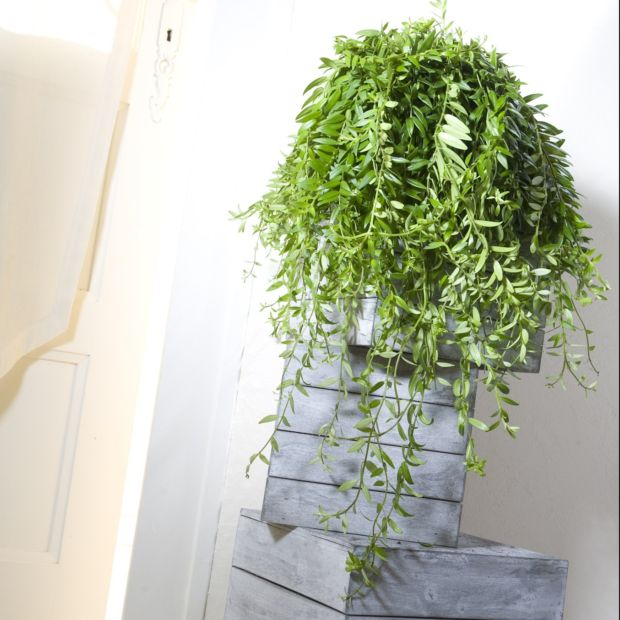 aeschynanthus japhrolepis plantes et jardins. Black Bedroom Furniture Sets. Home Design Ideas
