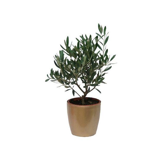 olivier cache pot dor plantes et jardins. Black Bedroom Furniture Sets. Home Design Ideas