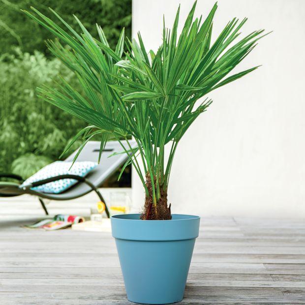 Palmier chanvre plantes et jardins for Plantes exterieur resistant gel