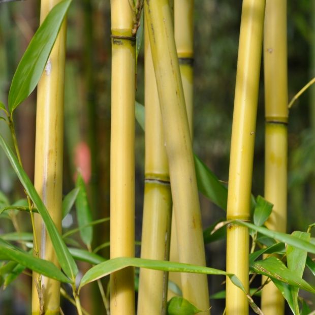 bambou moyen pseudosasa amabilis 39 tenuis 39 plantes et jardins. Black Bedroom Furniture Sets. Home Design Ideas
