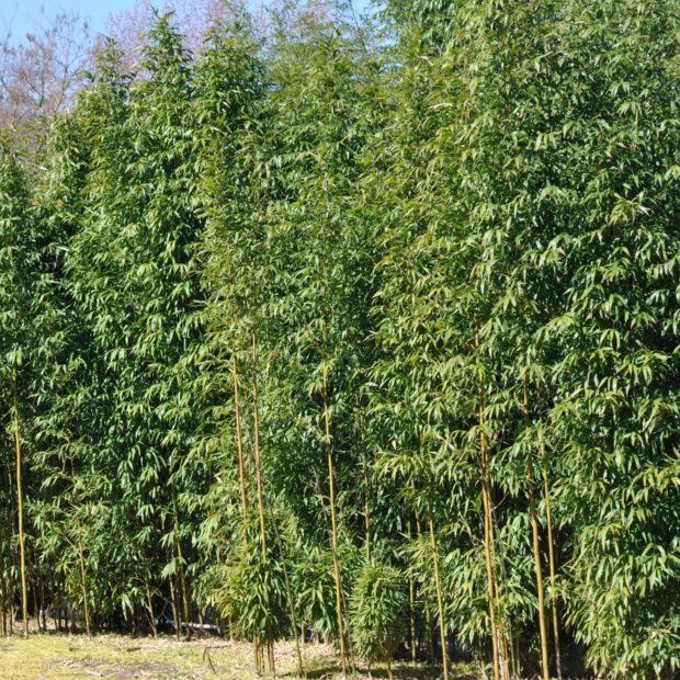 bambou moyen semiarundinaria fastuosa plantes et jardins. Black Bedroom Furniture Sets. Home Design Ideas