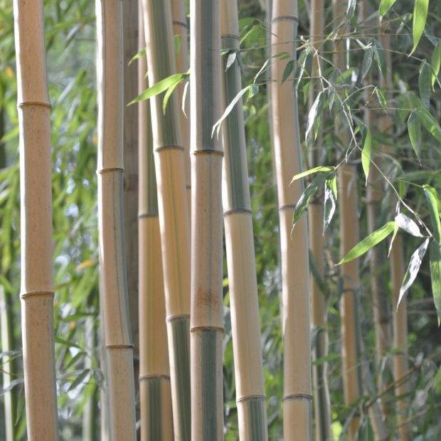 bambou g ant phyllostachys bambuso des 39 castillonis 39 plantes et jardins. Black Bedroom Furniture Sets. Home Design Ideas