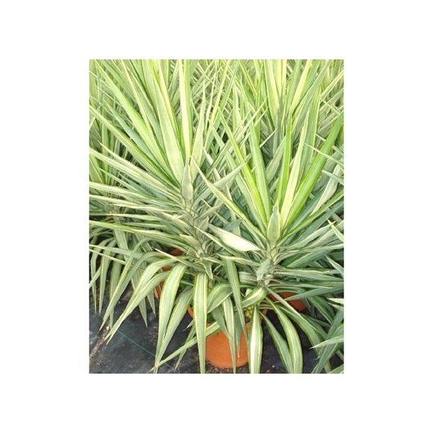 yucca elephantipes 39 jewel 39 plantes et jardins