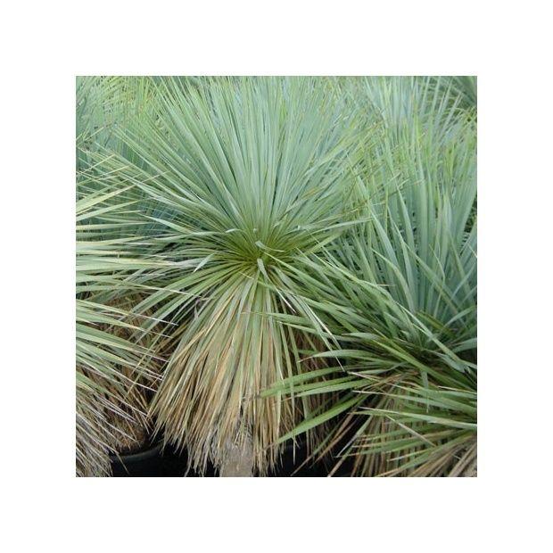 Yucca rostr plantes et jardins for Yucca exterieur rustique