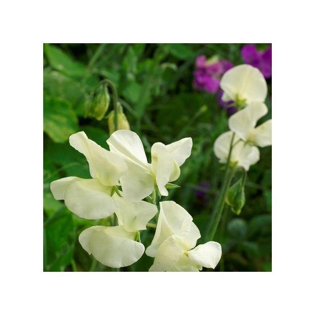 une fleur utile au jardin le pois de senteur blanc plantes et jardins. Black Bedroom Furniture Sets. Home Design Ideas