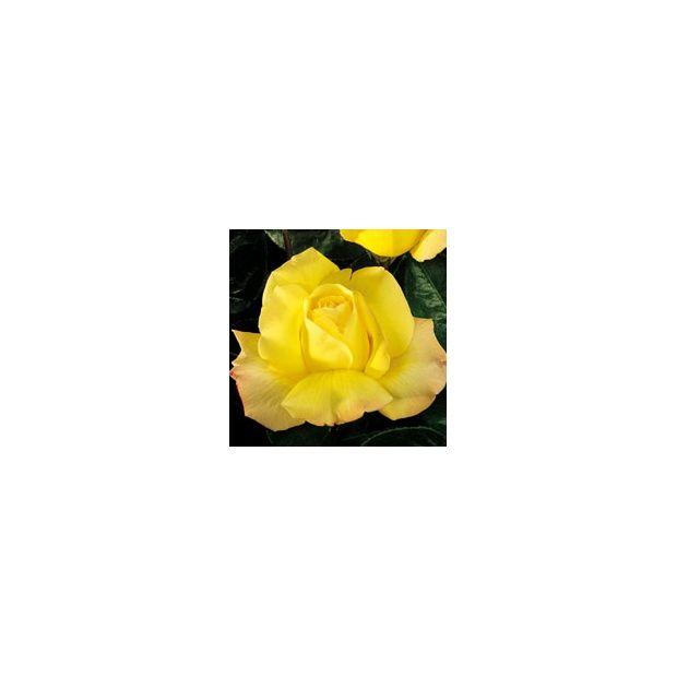 Rosier buisson parfum grandes fleurs jaunes plantes for Buisson synthetique