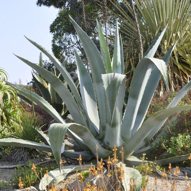 Agave americana plantes et jardins for Plantes exterieur resistant gel