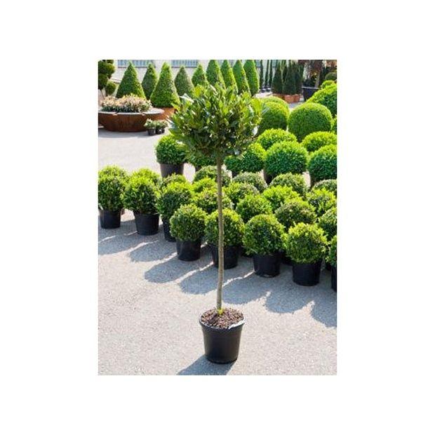 Laurier boule plantes et jardins - Laurier tige en pot ...
