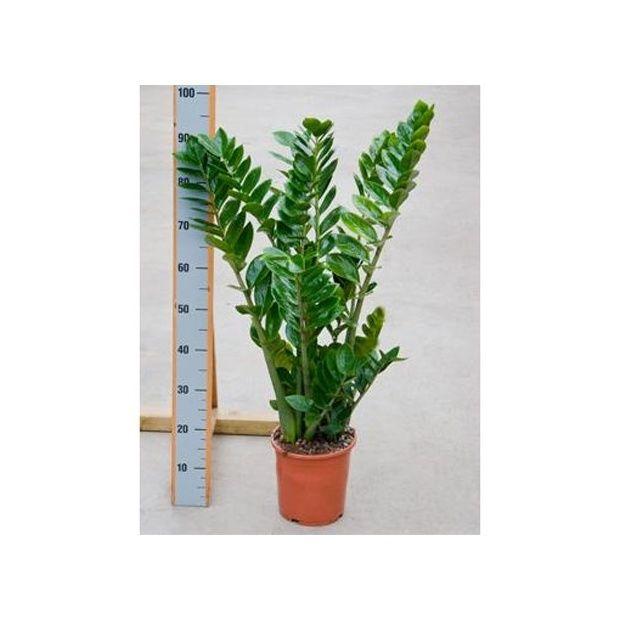zamioculcas plantes et jardins