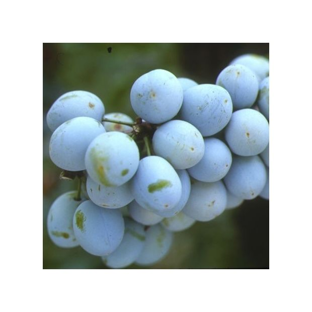 Prunier 39 mirabelle de metz 39 taille demi tige en pot de 12 l plantes et jardins - Taille des pruniers mirabelles ...