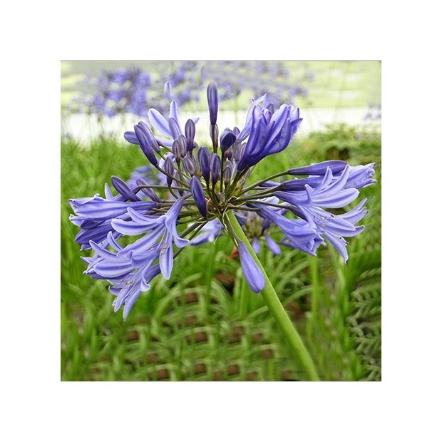 agapanthe 39 navy blue 39 plantes et jardins. Black Bedroom Furniture Sets. Home Design Ideas