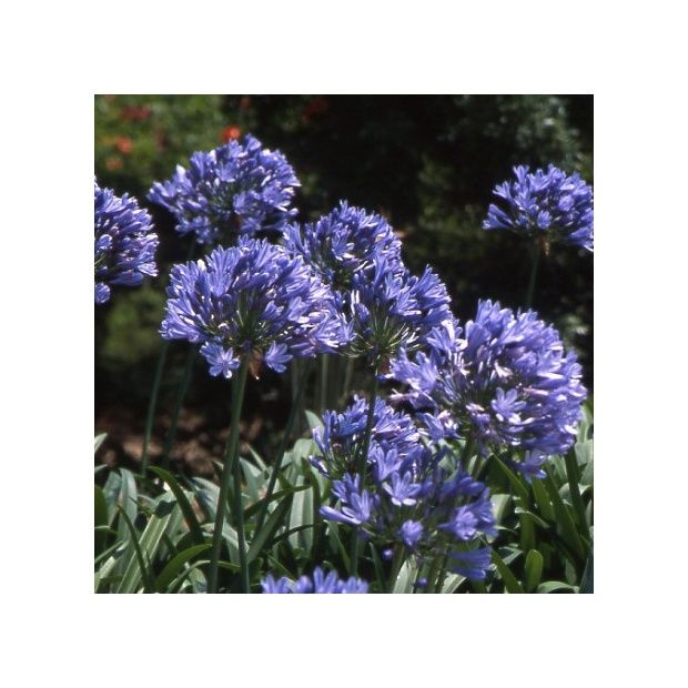 agapanthe 39 purple cloud 39 plantes et jardins. Black Bedroom Furniture Sets. Home Design Ideas