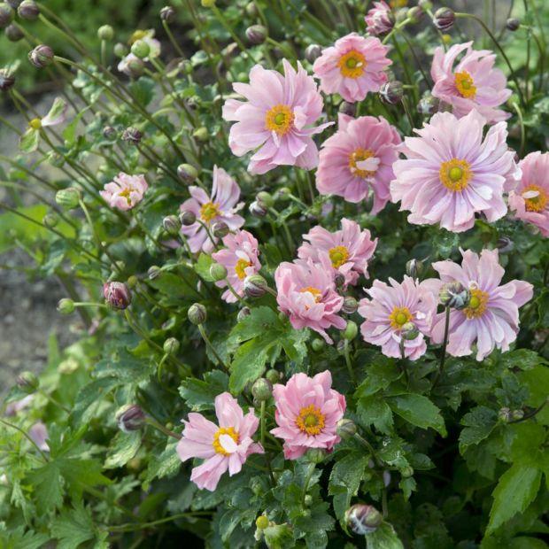 anemone japonica koningin charlotte plantes et jardins. Black Bedroom Furniture Sets. Home Design Ideas