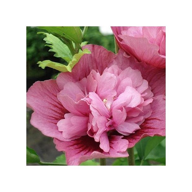 hibiscus syriacus 39 nolwenn 39 plantes et jardins. Black Bedroom Furniture Sets. Home Design Ideas