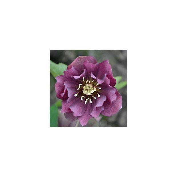 Rose de no l 39 wilgenbroek double red 39 plantes et jardins - Rose de noel en pot ...