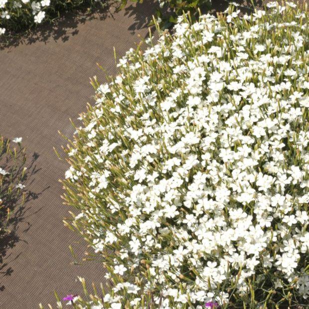 Oeillet delto de blanc plantes et jardins for Plantes fleuries vivaces
