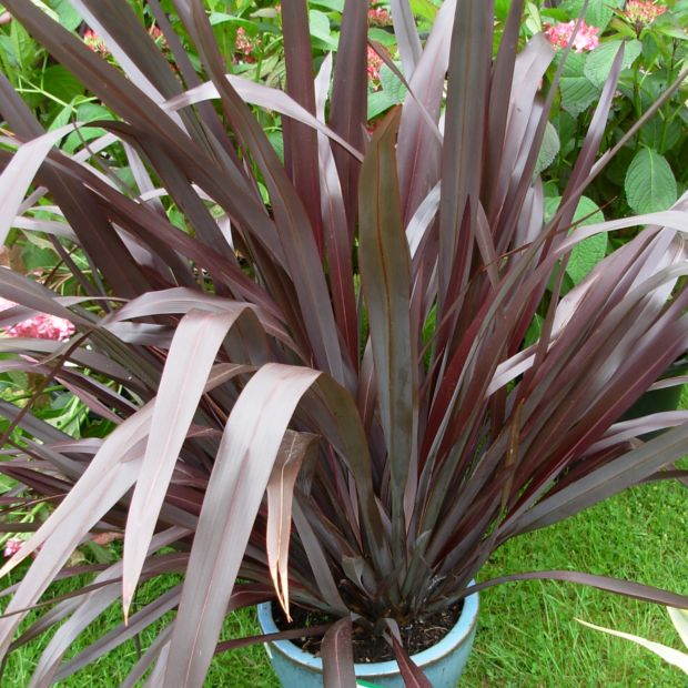 phormium 39 black adder 39 plantes et jardins. Black Bedroom Furniture Sets. Home Design Ideas