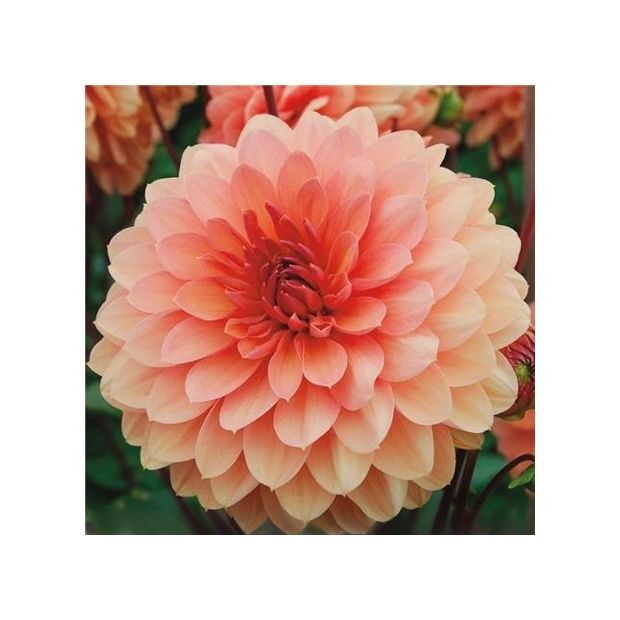 Dahlia d coratif 39 ch teau de la bourdaisi re 39 label - Gazon label rouge ...