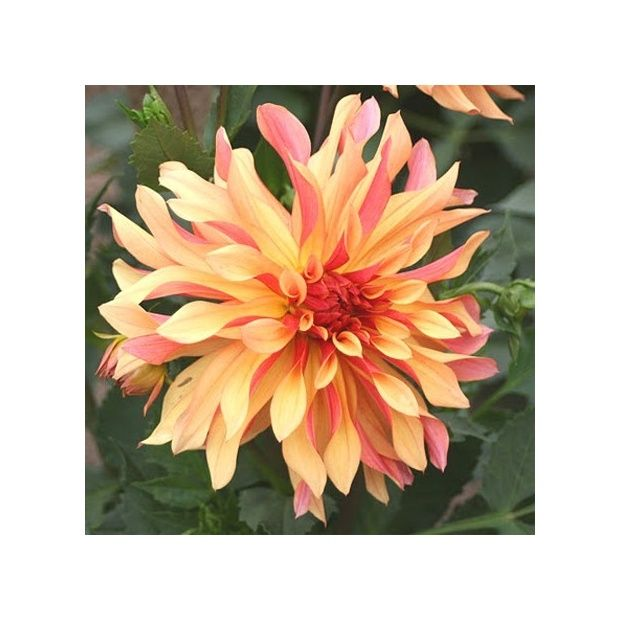 Dahlia d coratif 39 french cancan 39 label rouge plantes - Gazon label rouge ...
