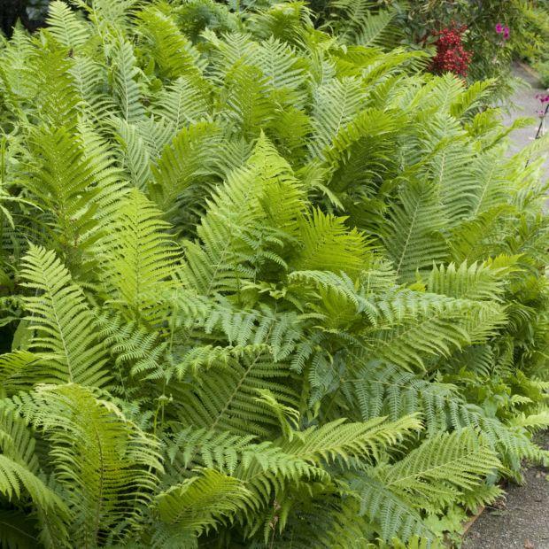 Foug re d 39 allemagne plantes et jardins for Fougere d interieur plante