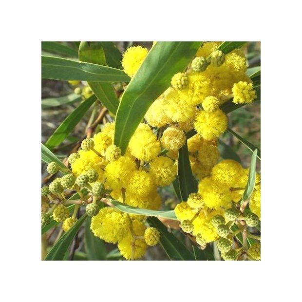 mimosa des 4 saisons 39 lisette 39 plantes et jardins. Black Bedroom Furniture Sets. Home Design Ideas