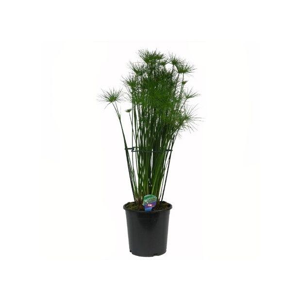 papyrus haspan plantes et jardins. Black Bedroom Furniture Sets. Home Design Ideas