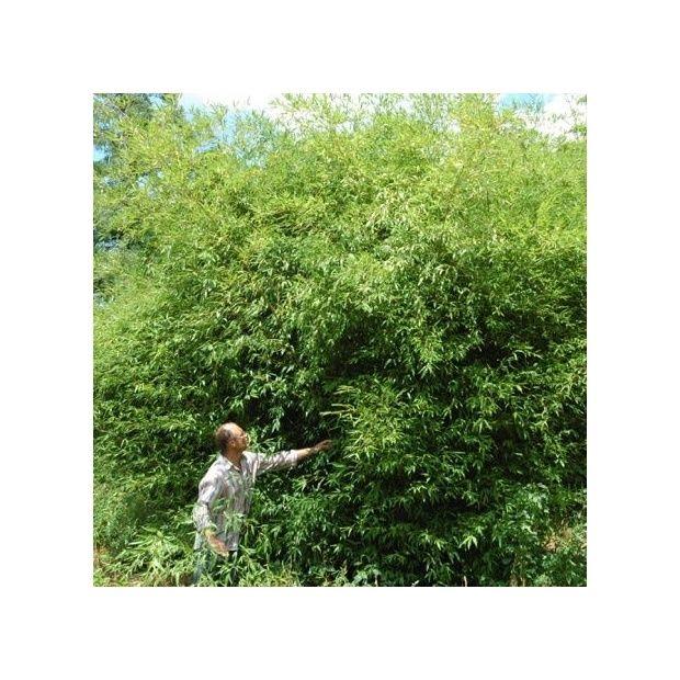 bambou moyen phyllostachys 39 tip top 39 plantes et jardins. Black Bedroom Furniture Sets. Home Design Ideas