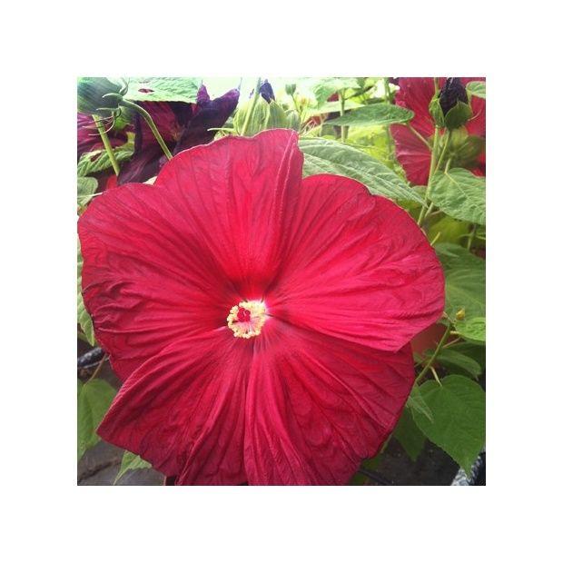 Hibiscus moscheutos rouge en pot e plantes et jardins - Hibiscus exterieur en pot ...