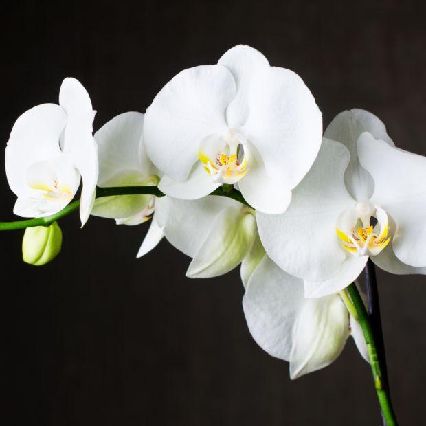 orchid e phalaenopsis 39 tokyo 39 2 tiges blanche plantes et jardins. Black Bedroom Furniture Sets. Home Design Ideas