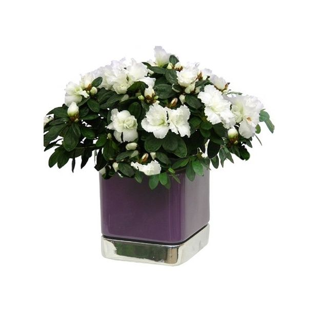 azal e blanche 25 30 cm cache pot carr violet et argent plantes et jardins. Black Bedroom Furniture Sets. Home Design Ideas